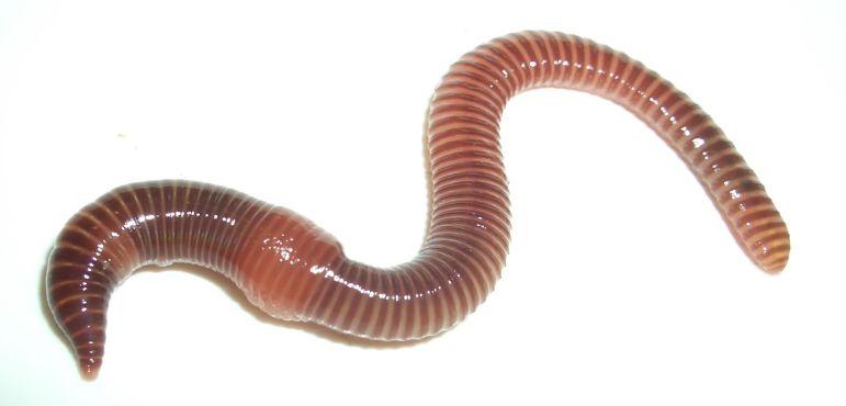 Kompostwürmer natuga natur und garten kompostwürmer eisenia foetida eisenia